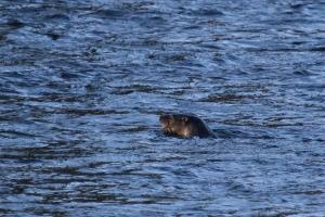 Otter, Seaton Park, Aberdeen